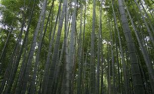 Une forêt de bambous, près de Kyoto, au Japon.