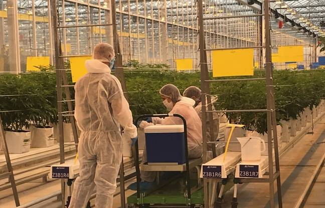 Sur le site portugais de Tilray, avant d'entrer à l'intérieur de la serre où poussent des milliers de plants de cannabis à usage thérapeutique, les employés doivent revêtir une combinaison pour assurer la sécurité sanitaire des plantes.