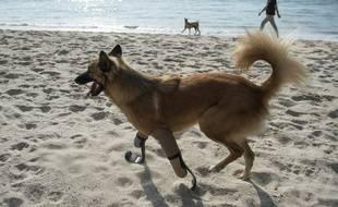 Les prothèses réalisées pour Cola, sont les seules de ce genre jamais faites pour un animal.