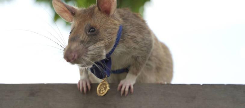 Le rat Magawa.