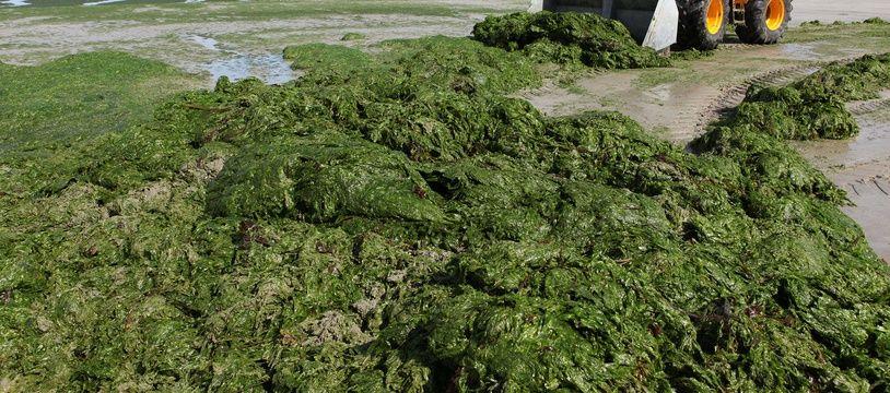 Un tracteur ramasse des algues vertes sur la plage de Saint-Michel-en-Grève (Côtes d'Armor) en 2011.