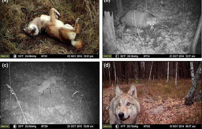 Les animaux observés par les chercheurs américains dans la zone d'exclusion de Tchernobyl.