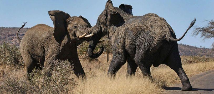 Deux éléphants en Afrique du Sud (illustration).
