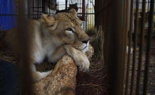 Une lionne dans une cage. (Illustration)