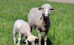 Des moutons sur une exploitation française. Illustration.