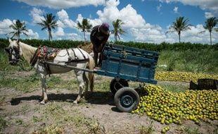 Un ouvrier agricole décharge des oranges dans un champ à Rio Real, à 200 km au nord de Salvador de Bahia au Brésil, le 18 février 2014