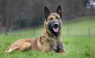 Photo d'illustration d'un berger malinois.