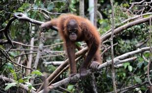 Un orang-outan dans une forêt