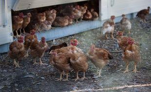 """Grippe aviaire: une """"source commune"""" aux foyers découverts en France identifiée (Illustration)"""