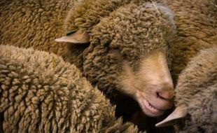 Des moutons dans un stand le 27 février 2016 au Salon de l'Agriculture à Paris