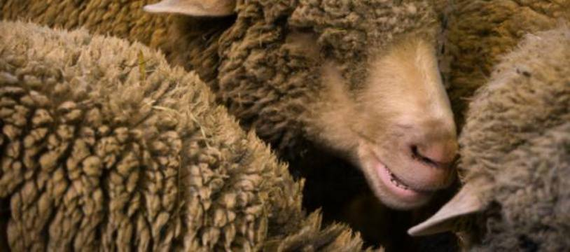 Pour éviter la fermeture d'une classe d'école primaire, 15 moutons ont été inscrits dans une petite école primaire de l'Isère.