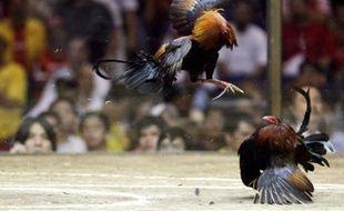 Un combat de coqs, aux Philippines, lors d'une compétition, en 2010.