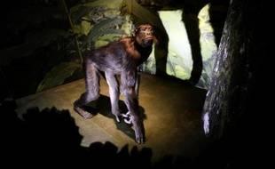 """Un singe empaillé exposé le 4 février 2015 Museum national d'histoire naturelle à Paris, dans le cadre de l'exposition """"Sur la piste des grands singes"""""""