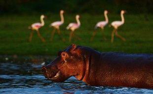 Un hippopotame dans le lac Oloidien, près de Naivasha, au Kenya, le 3 mai 2012