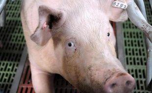 Un cochon dans une ferme