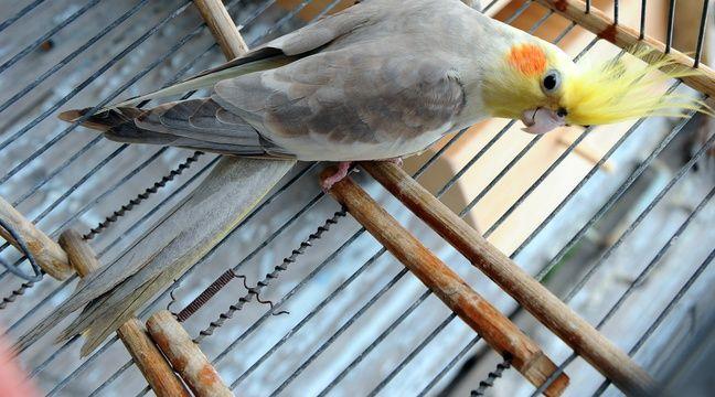 toulouse une perruche retrouv e un mois apr s sa fugue 200 km vol d 39 oiseau. Black Bedroom Furniture Sets. Home Design Ideas