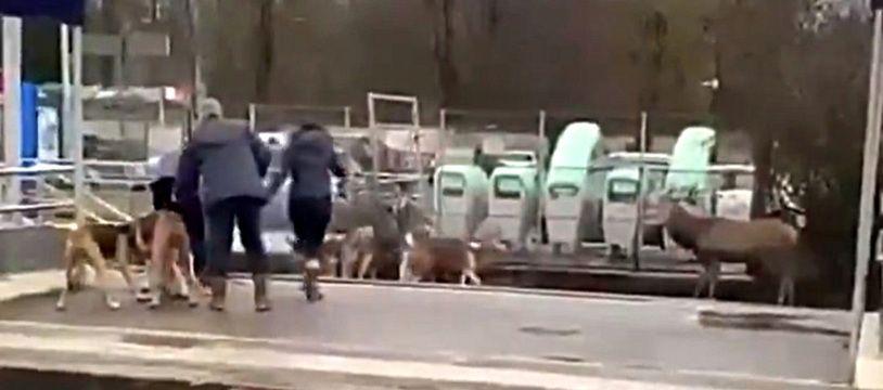 Le cerf acculé par la meute en gare de Chantilly.