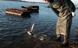 Surveillance des canards au lac de Grand lieu (44)