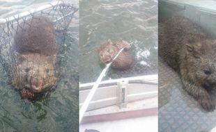 Sauvé par deux pêcheurs, ce wombat était en détresse dans un lac de Tasmanie, en novembre 2015.