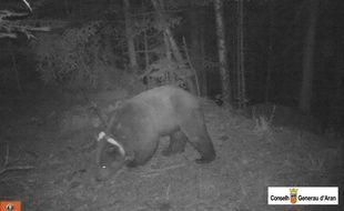 Goiat, un gros ours mâle, filmé de nuit dans les Pyrénées.