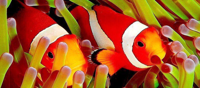 Des poissons-clowns dans leurs anémones