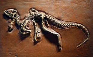Le squelette d'un Heterodontosaurus