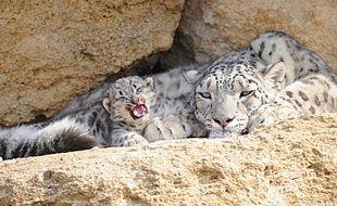 Darkhan, le bébé panthère des neiges, ici avec Junga, sa mère.