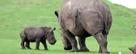 Pic by Peter Goddard / Caters News - (Pictured: Cheeky baby Southern white rhino Granville mock charges his Aunty Keyah and is then sent flying when she loses her patience and uses her horn to send him scuttling back to his Mother Alisa. The baby rhino who was born at the West Midlands Safari Park near Bewdley, Worcestershire, on the 25th September has proven to be quite a cheeky chappy already full of confidence and energy.) - These hilarious new photos prove an adorable newborn baby rhino is proving a bit of a nuisance to his relatives. Baby Southern white rhino Granville, the new arrival at West Midlands Safari Park, in Bewdley, Worcs, was first introduced to his family and named last week at just nine days old. But since venturing out for the first time, it seems the curious youngster has been getting some of his aunties horns in a twist. Adorable new photos, taken yesterday [TUES] show naughty Granville mock charging auntie Keyah in the African Plains section of the safari drive-through. But she soon appeared to run out of patience and used her horn to bash him up the backside and send him flying back to mum Alisa and cowering behind her.