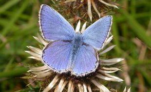 Un papillon de l'espèce Azuré bleu céleste ou Bel argus
