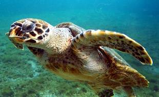 Illustration d'une tortue de Madagascar.