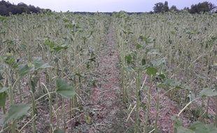 Des champs de grandes cultures ont été frappés par la grêle en Gironde.
