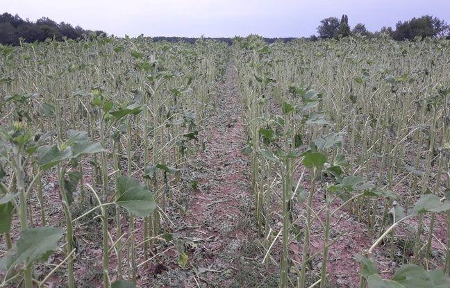VIDEO. Gironde: Des milliers d'hectares de cultures détruits par la grêle