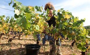 Vendanges dans une parcelle de vigne bio, en Côte-d'Or.