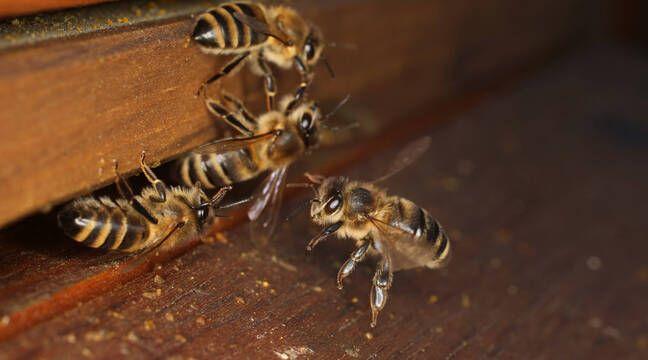 Insecticides : L'Union européenne ouvre la voie à de nouveaux efforts de protection des abeilles