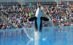 Une orque à un spectacle de SeaWorld à San Diego, en Californie, le 9 octobre 2015.