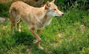 Photo d'illustration d'un loup, ici en 2012 à Saint-Leger-de-Peyre.