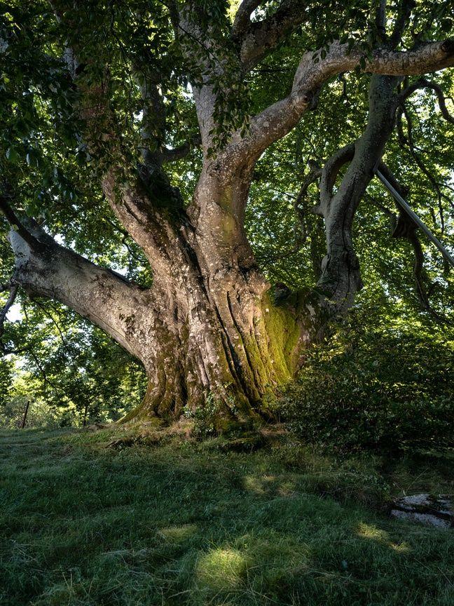 Le hêtre multicentenaire de Sorèze, dans le Tarn, a obtenu le prix du jury d'arbre de l'année 2019.