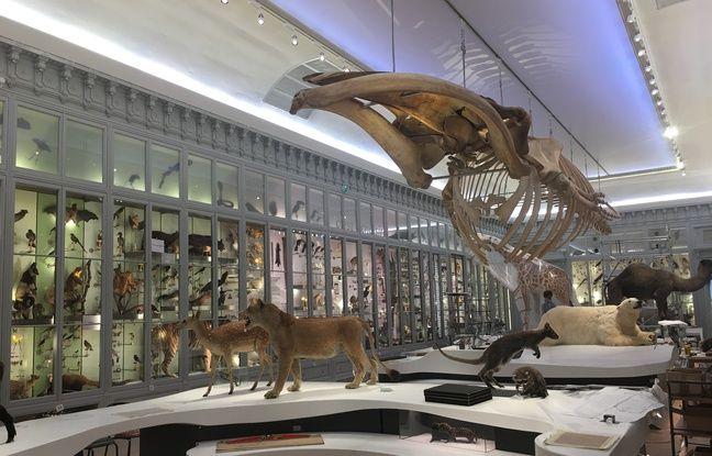 La galerie du 19° du muséum de Bordeaux a été rénovée, et sera agrémentée de spectacles multimédia