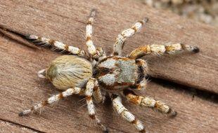 La peur des araignées chez l'humain serait innée selon une étude.