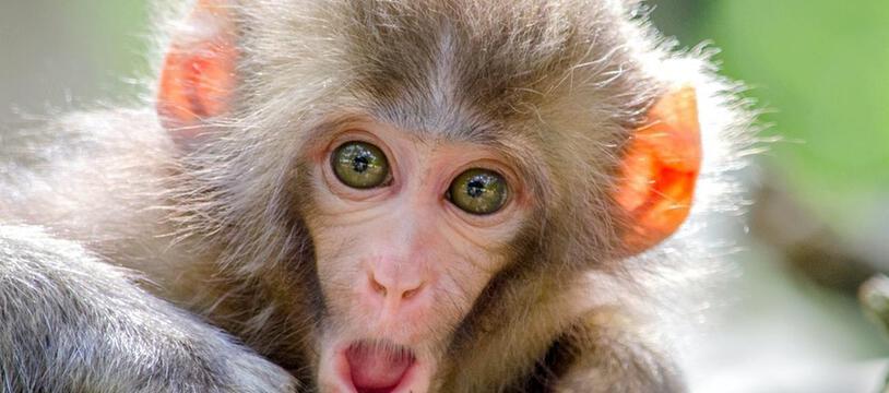 Les singes ont un système de communication qui associe des vocalisations différenciées à des situations éthologiques différentes
