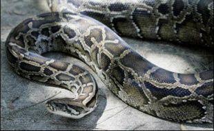 """Les pompiers ont capturé mardi dans un parc de Tours un python vivant qui avait été découvert par des écoliers surpris d'avoir vu un """"gros serpent"""" enroulé autour d'un arbre, a-t-on appris de source policière."""