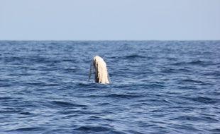 L'association Souffleurs d'Ecume a repéré une baleine avec la queue abîmée au large de Cannes.