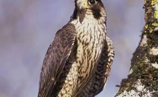 Image d'un faucon Pèlerin.