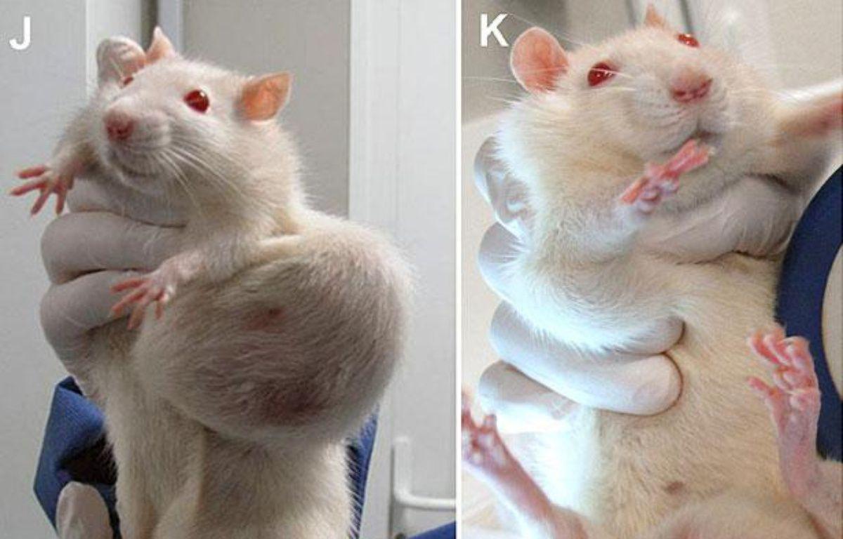 Les rats utilisés lors de l'étude, parue dans la Revue internationale «Food and Chemical Toxicology», montraient d'importantes tumeurs – CRIIGEN / AFP