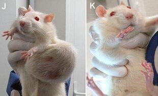 Les rats utilisés lors de l'étude, parue dans la Revue internationale «Food and Chemical Toxicology», montraient d'importantes tumeurs