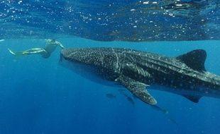 Un nageur s'approche d'un requin baleine, le 3 avril 2012, sur la côte ouest de l'Australie.