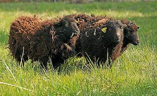 Les brebis viennent d'Ouessant.