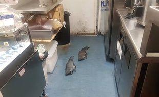 Les deux manchots dans le stand de sushi.