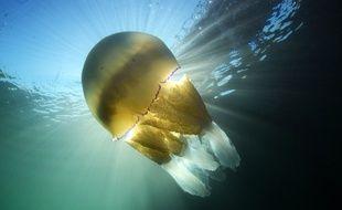 Une méduse géante a été filmée dans la Manche au large des côtes de Cornouailles (illustration).