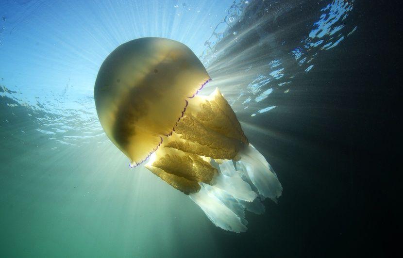 VIDEO. Une méduse géante de la taille d'un homme filmée dans la Manche